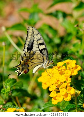 Old world swallowtail butterfly - stock photo