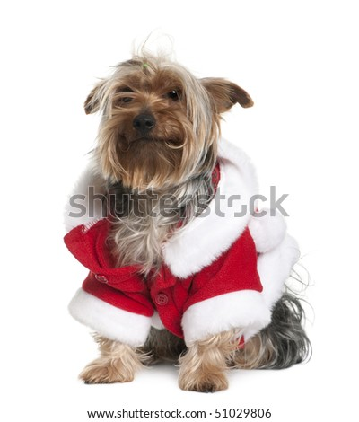 Old Yorkshire terrier in Santa coat sitting in front of white background - stock photo