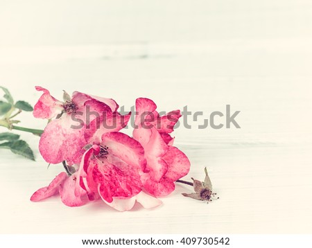 Older yet Pretty Bright Pink Roses laying on Rustic Off-White tinted Board Background with room or space above and on the side for copy, text, your words  Horizontal with artistic tones. - stock photo
