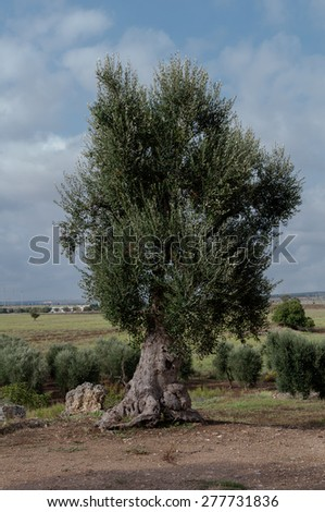 Olea europea (commonly known as Olive) shot in Apulia region, Italy