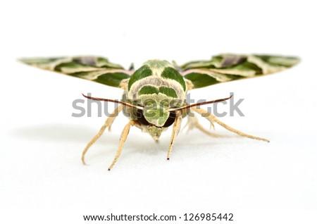 Oleander Hawk moth (Daphnis nerii) isolated on white - stock photo