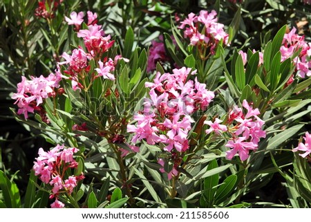 Oleander, Rose bay flower with leave. (Nerium oleander L.)  - stock photo