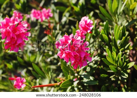 Oleander shrub, pink rose flowers with leaves. (Nerium oleander L.) - stock photo
