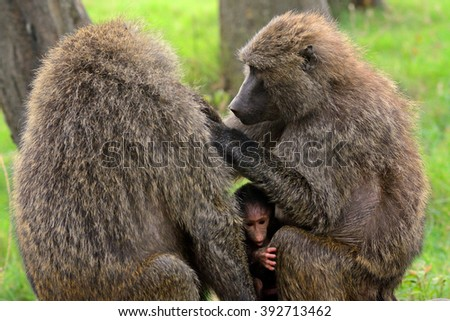 Olive baboons, Lake Nakuru National Park, Kenya