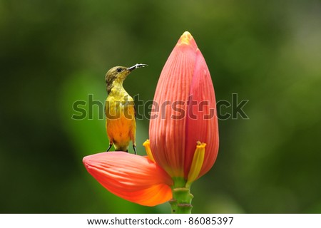 Olive-backed Sunbird with blossom of banana tree