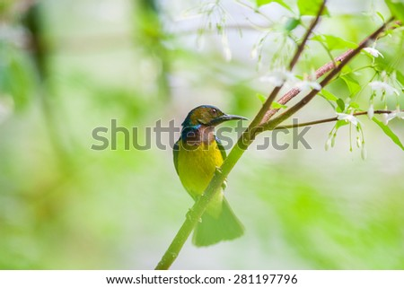 Olive-backed sunbird, Yellow-bellied sunbird  in tropical forest thailand. - stock photo