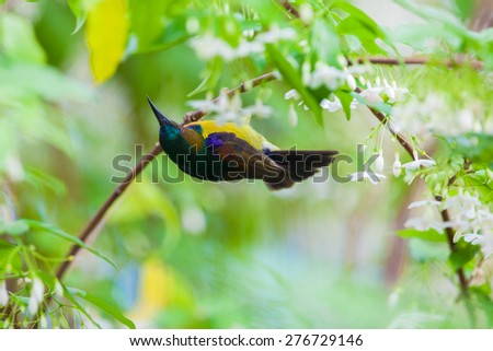 Olive-backed sunbird, Yellow-bellied sunbird,on tropical forest,thailand. - stock photo