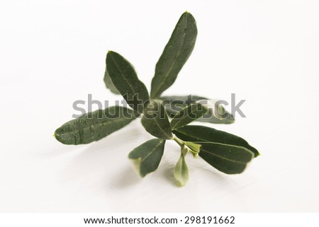 Olive branch with green leaves