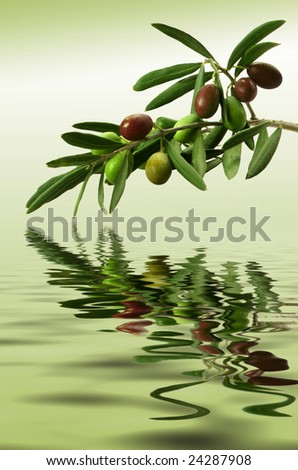 Olive branch with ripe fruit