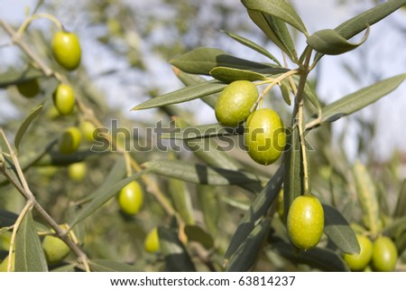 Olive field trees, branch details with olives.