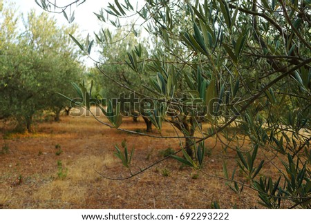Olive grove in the sunset