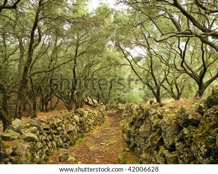 Olive Grove on the island of Corfu, Greece - stock photo