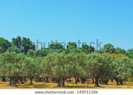 Olive Grove on the Slopes of the Hills, Israel - stock photo