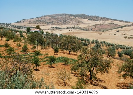 Olive groves with wheat fields to rear, Between Antequera and Alora, Costa del Sol, Malaga Province, Andalucia, Spain, Western Europe. - stock photo
