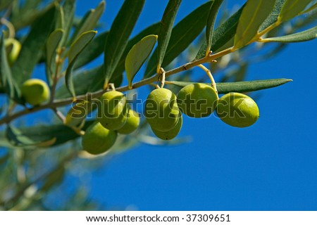 olive on branch and blue sky
