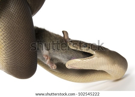 Olive python, Liasis olivaceus, eating a rat on a white background - stock photo