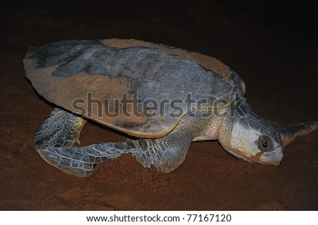 Olive ridley turtle returning to the ocean at night. The nesting process is complete. She appears to be crying with liquid flowing from her eyes. She is excreting the excess salt and flushing sand. - stock photo
