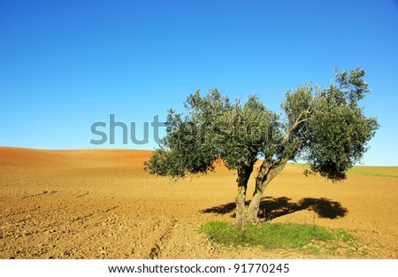 Olive tree alone in the cultivated field - stock photo