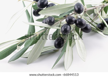 Olive tree branch with black olives - stock photo