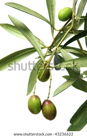 Olive tree branches  on the white background - stock photo