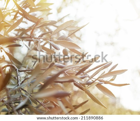 Olive tree brunch over bright sky. - stock photo