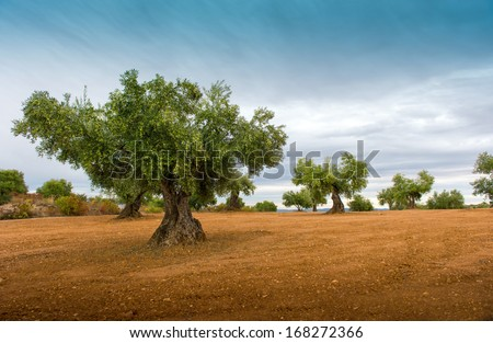 Olive tree fields with red soil - stock photo