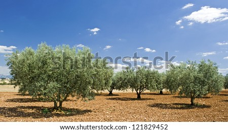 Olive tree, from Provence. France. - stock photo