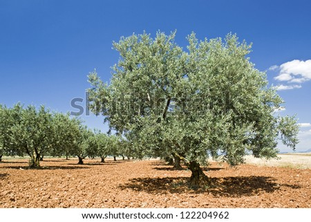 Olive tree, from Provence. France, - stock photo