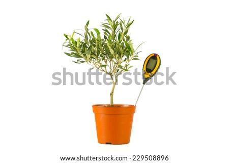 olive tree in a pot with a moisture meter - stock photo