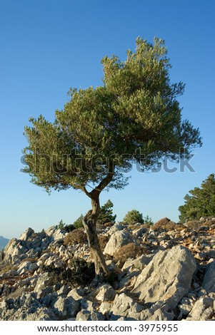 Olive tree in between the rocks of mount Tsampika, Rhodes