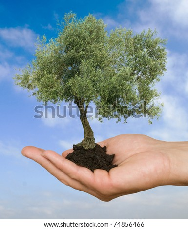 olive tree in hand as a gift of agriculture - stock photo