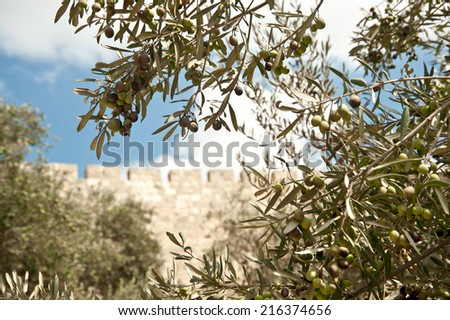 olive tree in Jerusalem - stock photo