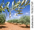 Olive tree, olive branch in grove.Provence. - stock photo