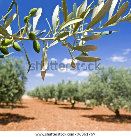 Olive tree, olive branch in grove.Provence.