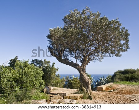 Olive tree on a mountain next to some ruins, with the sea beyond. Typical Mediterranean landscape - stock photo