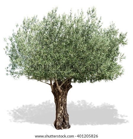 Olive tree  on a white background. Clipping path. - stock photo