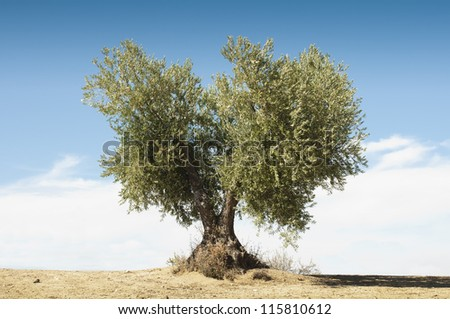 Olive tree on blue sky . - stock photo