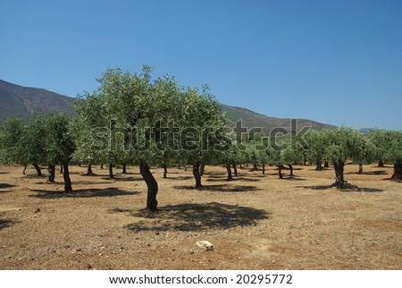 Olive tree planting on Thassos island Greece - stock photo