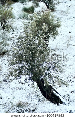 Olive Tree under snow, Greece, Euboea, February