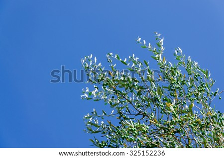Olive tree with a blue sky as background - stock photo