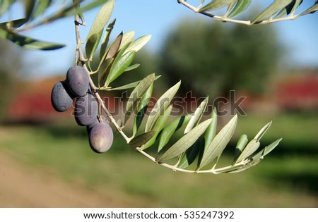 Olive tree with fruits, south of Portugal