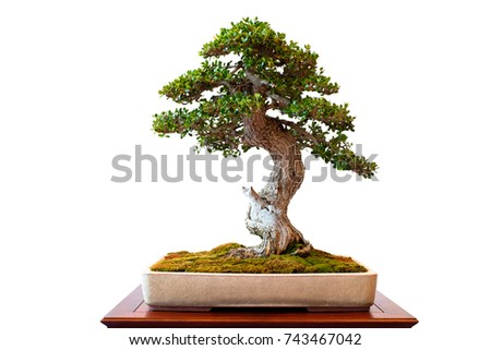 Olive tree with green foliage as bonsai white isolated