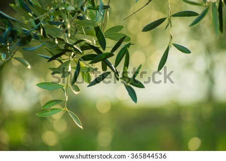 Olive tree with leaves, natural  agricultural food  background  - stock photo