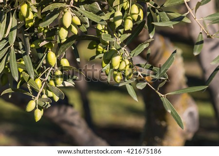 olive tree with ripe green olives - stock photo