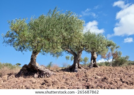 Olive trees field in Sicily, Italy