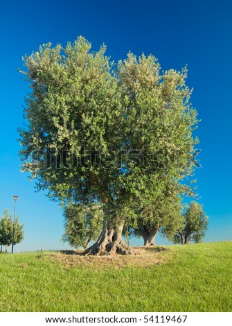 Olive-trees hill. - stock photo