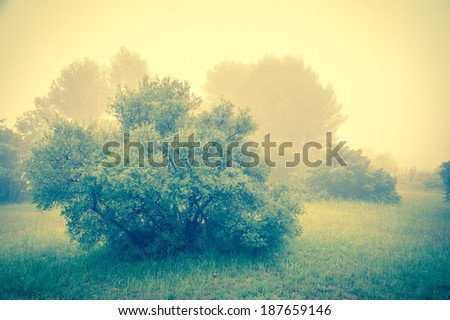 Olive Trees in a fog. Mistral wind blows in Provence (France). Blur. Toned photo. - stock photo