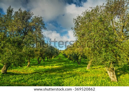Olive trees in a green meadow in Sardinia, italy - stock photo
