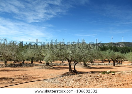Olive Trees in spain - stock photo