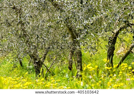 Olive trees in spring, Italy - stock photo